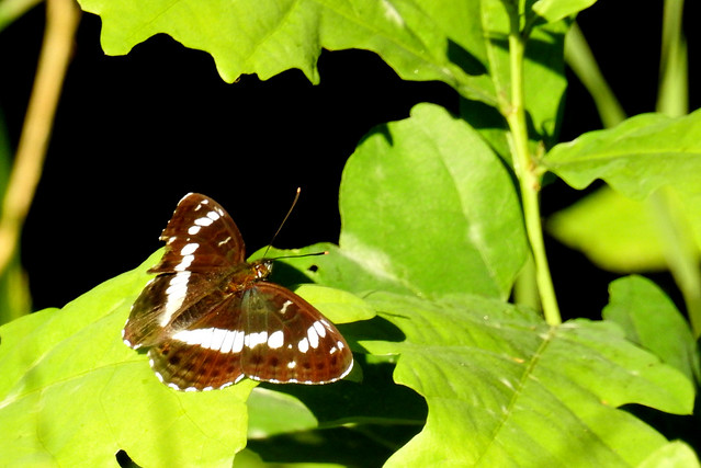 White Admiral. #1stoftheyear   for me