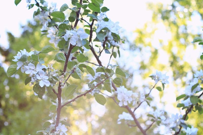 omenapuu 3