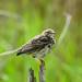 Meadow Pipit  Marshside RSPB F00230 D210bob  DSC_1820