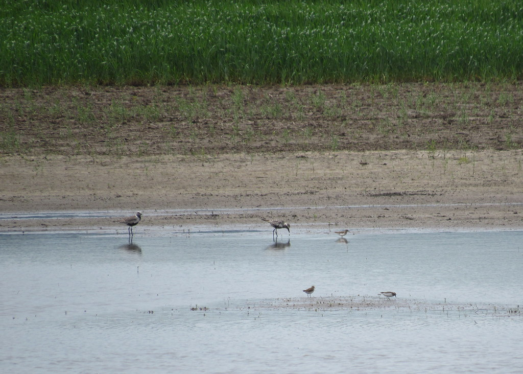 Black-bellied Plovers and Least Sandpipers