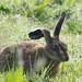 Hare Elmley NNR Kent