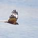 Marsh Harrier Minsmere 25-4-18