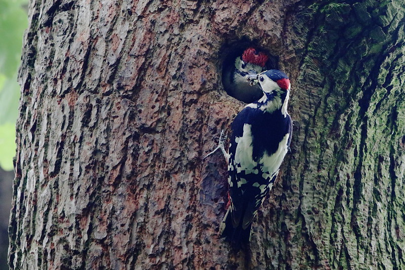 Male feeding juvenile Great Spotted Woodpecker
