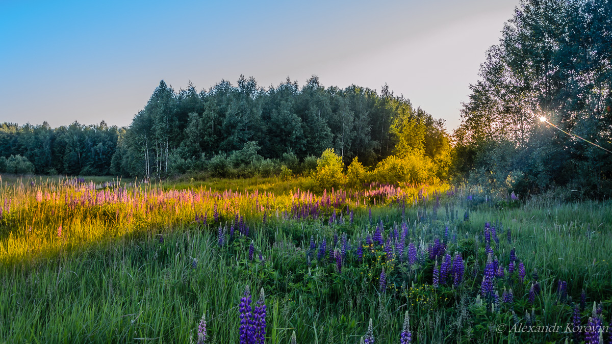 Edge of forest with wild lupines
