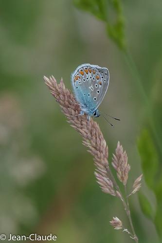 Polyommatus icarus ♂ - L'Azuré commun ♂
