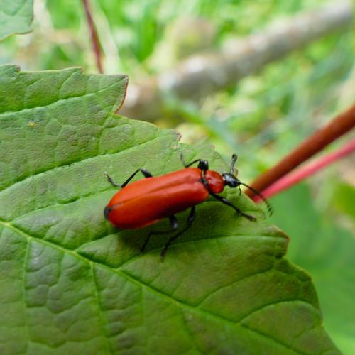 Cardinal beetle (Pyrochroa coccinea) on sycamore leaf