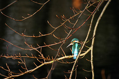 Kingfisher on tree branch