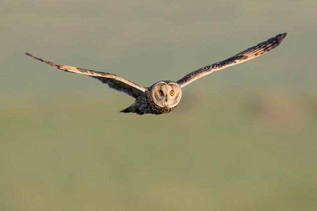 Long-eared Owl, Nikon D7200, Sigma 150-600mm F5-6.3 DG OS HSM | C