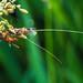 Fly - Empis livida with prey Yellow-barred Longhorn Moth - Nemophora degeerella