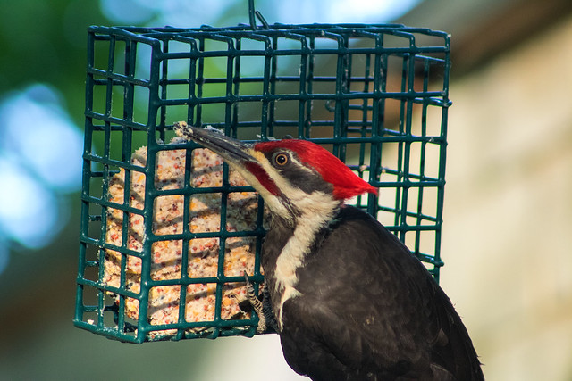 Pileated Woodpecker, Canon EOS REBEL T6I, Canon EF 75-300mm f/4-5.6 USM