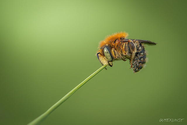 Sa, 2018-05-26 18:20 - Irgendwann beißen wir alle mal ins Gras... Große Harzbiene (Anthidium-byssinum)  At some point, we're all gonna bite the dust... Large resin bee (anthidium-byssinum)