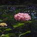 Hydrangea by shinichiro*