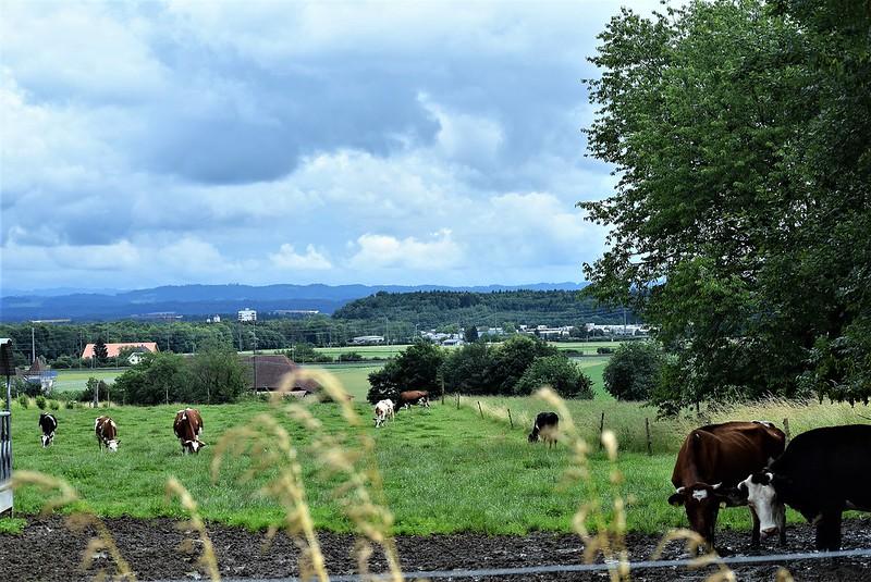 Cows 12.06 (10)