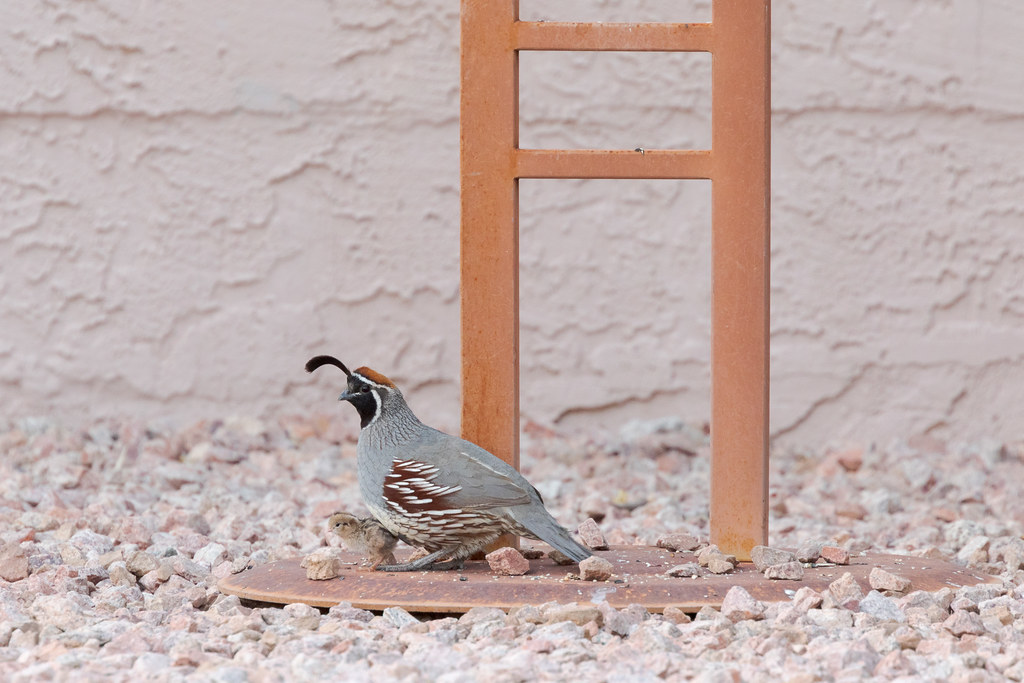 A Gambel's quail male shelters his chick under our bird feeder
