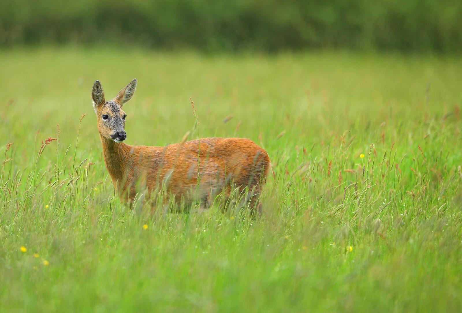 Pregnant Roe Deer-2