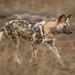 African Wild Dog (© Jonathan Lewis)