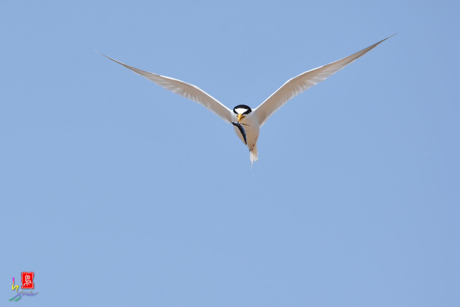 Little_Tern_9891