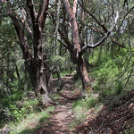 Trail. as it weaves through some madrones