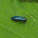 Jewel Beetle --- Agrilus cyanescens