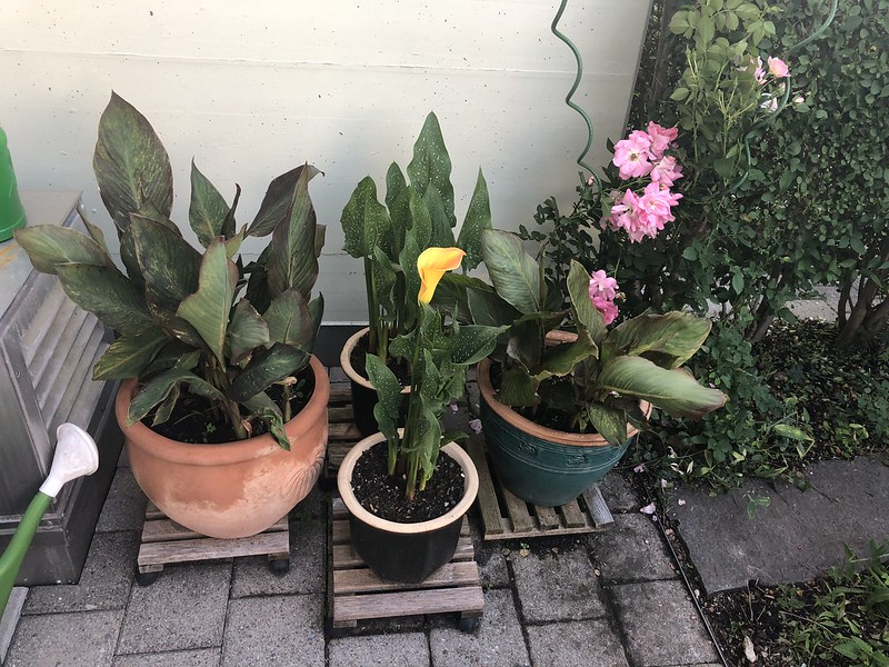 Calla, Canna and Roses