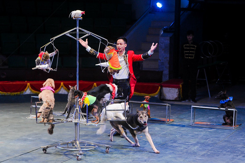 Domesticated animals used in performance in Hanoi circus, 2017