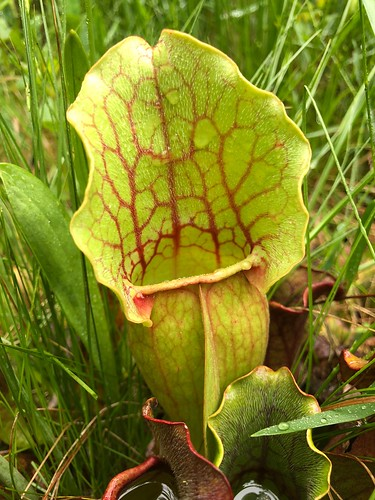 Sarracenia purpurea ssp. venosa; Suitland Bog Natural Area, MD.