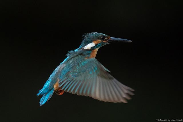 20180602-kingfisher-DSC_4116