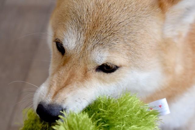 室内遊びを楽しんでいる犬
