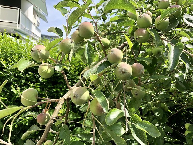 Apples 2018