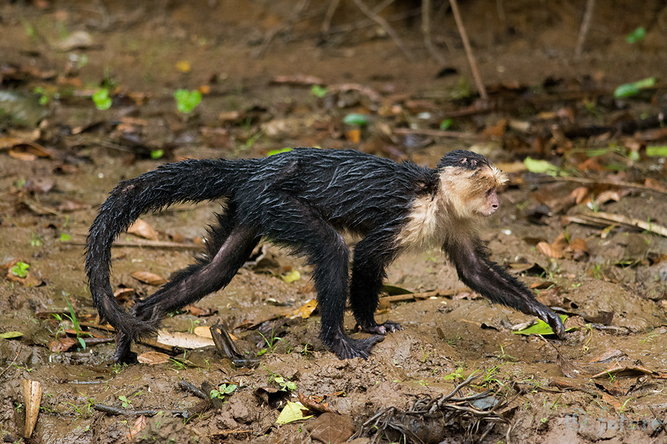 Kaputsiinahv, Kaputsiin, ahv, Cebus, capucinus, White, headed, capuchin, faced, throated, Costa Rica, Caño, Negro, Wetland, Kaido Rummel