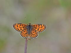 Tweekleurige parelmoervlinder
