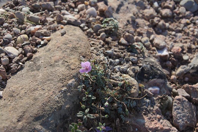 Камнеломка вечноживая (Saxifraga porophylla)DSC_2279