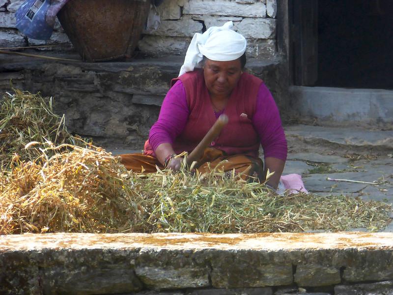 Woman threshing grain in a village that trekkers walk through along the Poon Hill trail in Annapurna