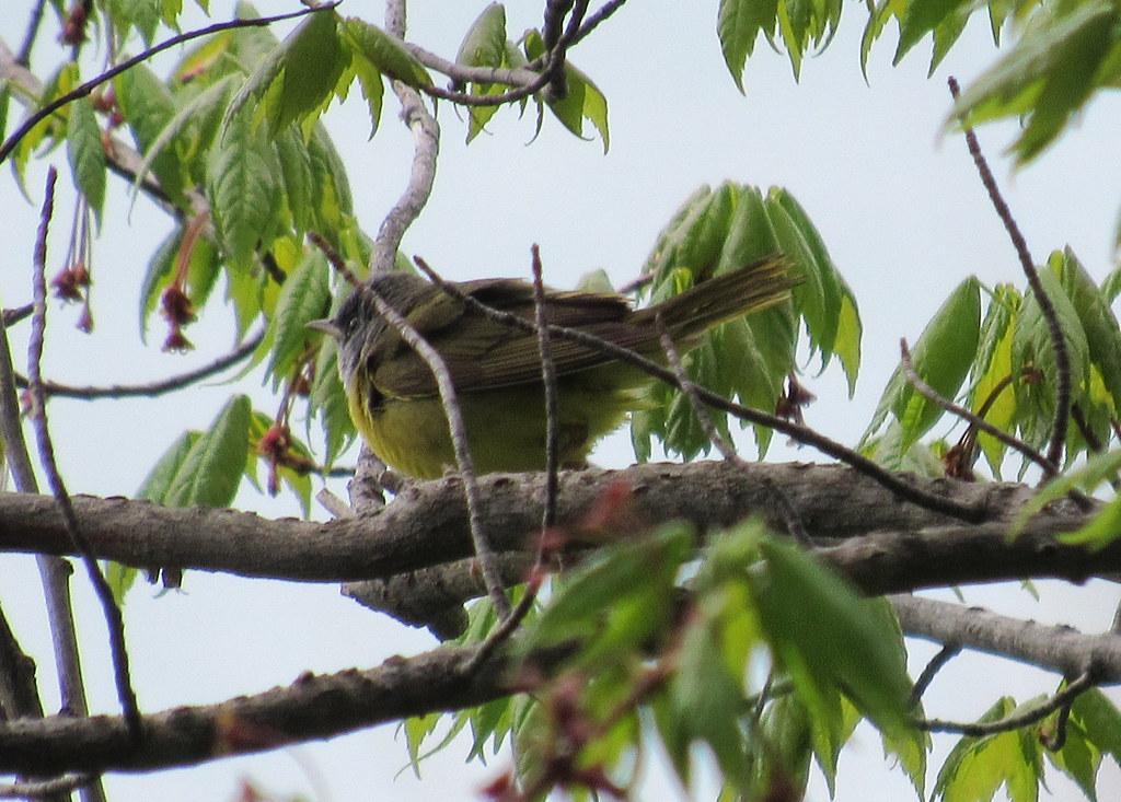 Mourning Warbler #1