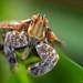 Fulgoroid Hopper - Gorongosa National Park, Mozambique by Thomas Shahan 3