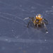 Spiderling on the bin