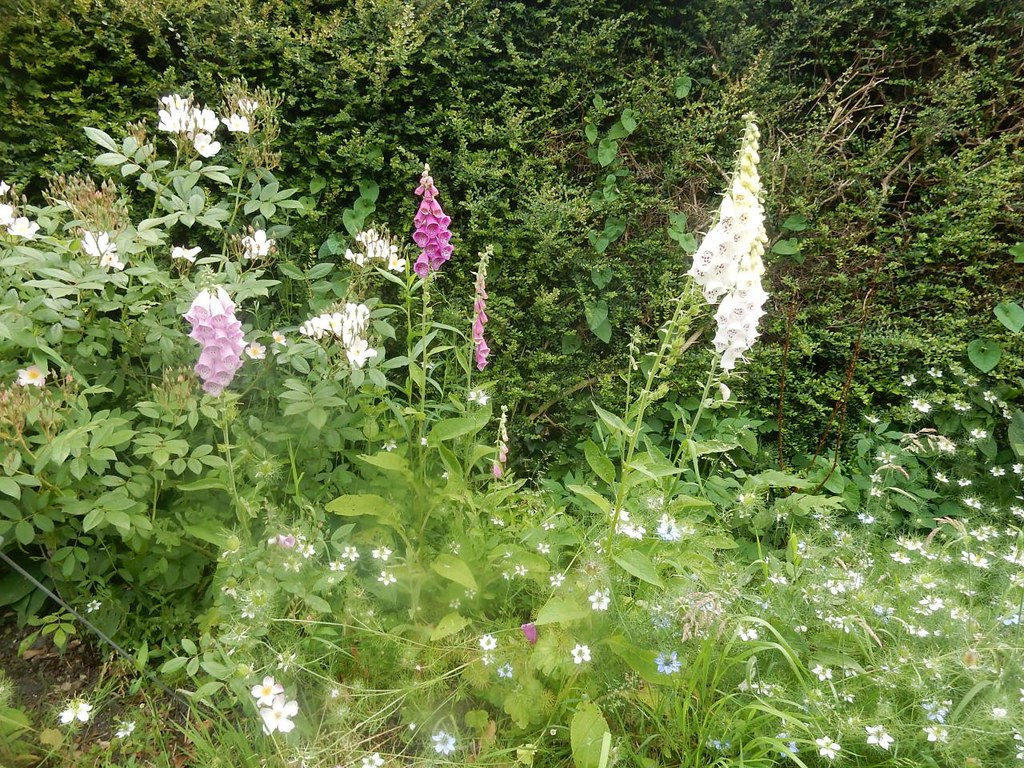 Foxgloves, Amberley Pulborough Circular