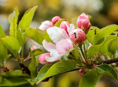 Ant on Apple Blossom