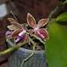 Phalaenopsis cornigiana