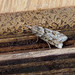 Narrow-winged Grey - Eudonia angustea