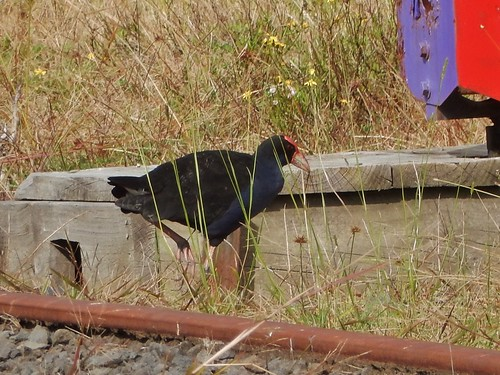 Coot by the Track