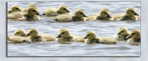 Canada Goose / Bernache du Canada  / Branta canadensis