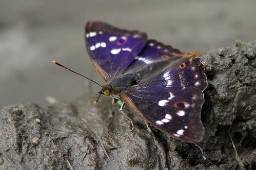 aspskimmerfjäril apaturailia lesserpurpleemperor gheorgheni romania butterfly lepidoptera fjäril