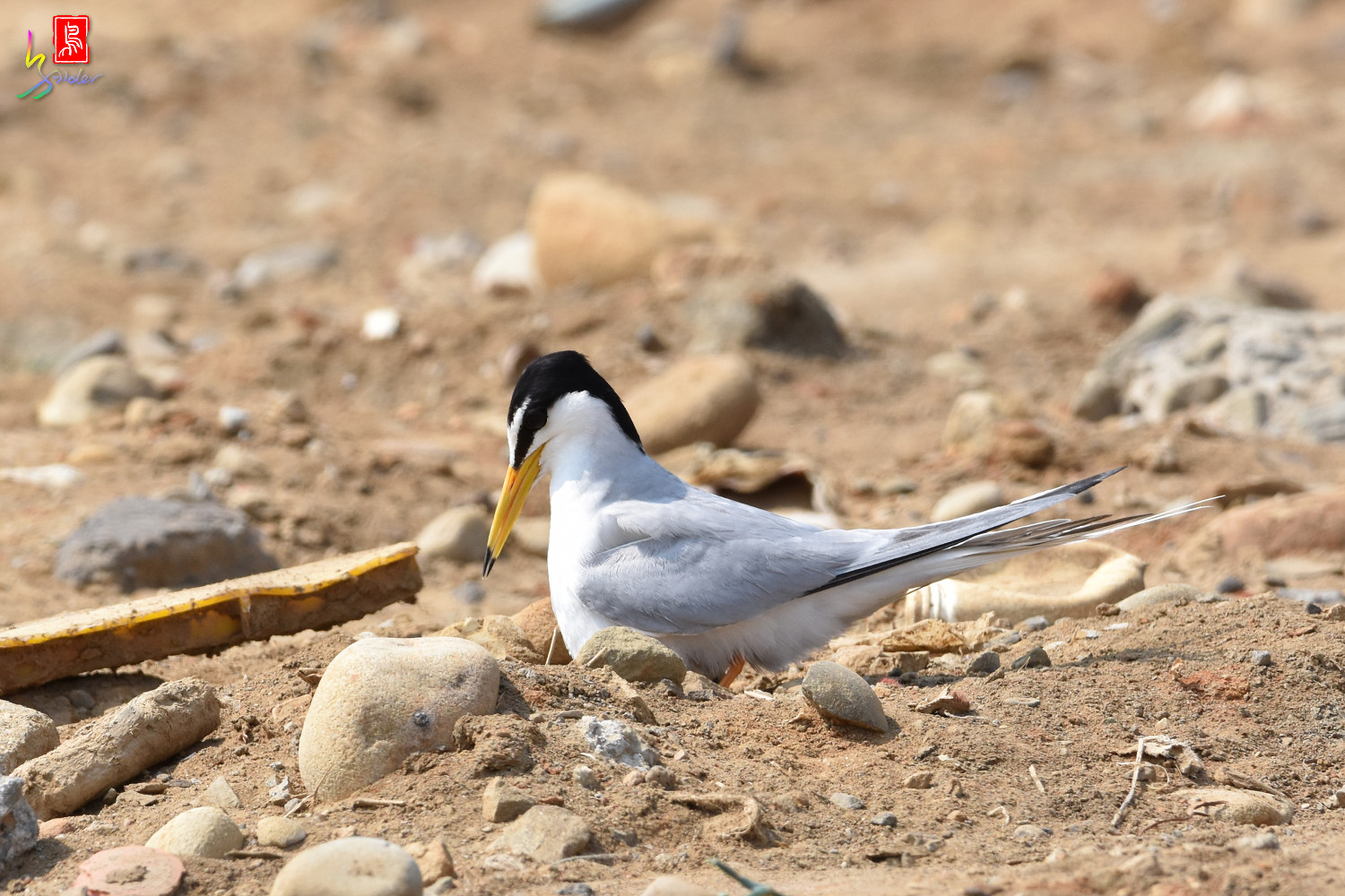 Little_Tern_0124