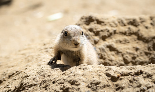 Juvenile Black-tailed Prairie Dog (Cynomys ludovicianus) on the lookout from its burrow | by Wade Tregaskis