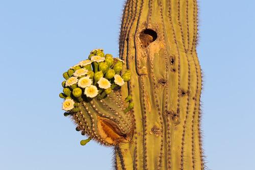 flower blossom saguaro cactus desert sonorandesert brownsranch mcdowellsonoranpreserve scottsdale arizona offmaptrail