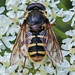 Hoverfly b2