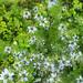 fiori-di-nigella-azzurra
