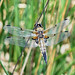 Dragonfly - Four-spotted Chaser