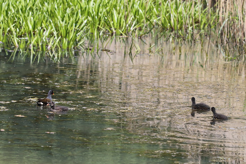 1 adult Moorhen + 3 chicks from 2 broods